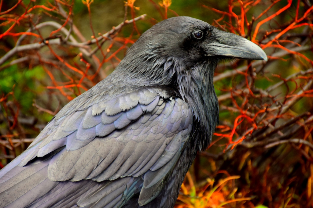 A crow used for magic